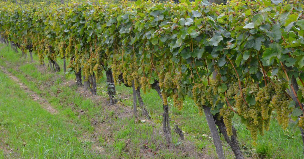 vinárstvo Darázsvin vinič